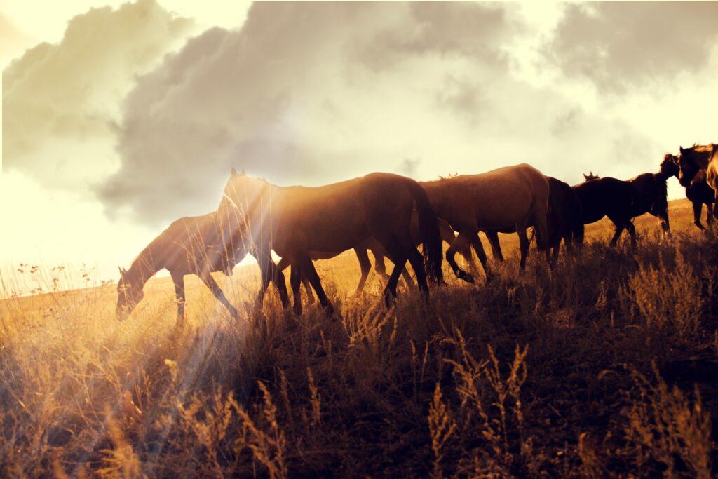 Cavalli nella steppa del Kazakistan
